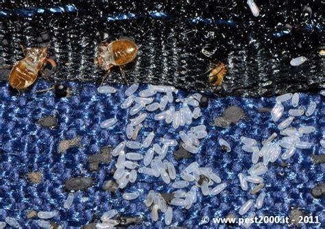 uova cimici da letto come riconoscere un infestazione da cimici dei letti cimex