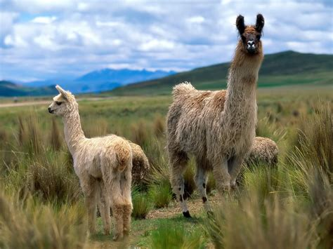 imagenes animal llama alpacas and llamas images llama wallpapers hd wallpaper