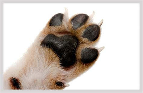pug paw problems pug foot inflammation causes treatment and prevention pugs