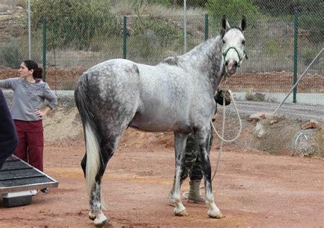 fotos caballos verga parada la facultad de veterinaria de la ceu uch acoge la parada