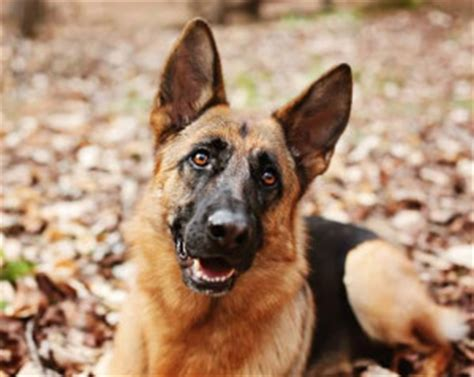 german shepherd rescue va southeast german shepherd rescue