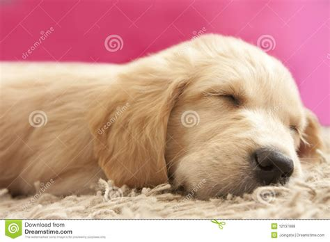 golden retriever puppies 6 weeks golden retriever puppy 6 weeks asleep stock photo