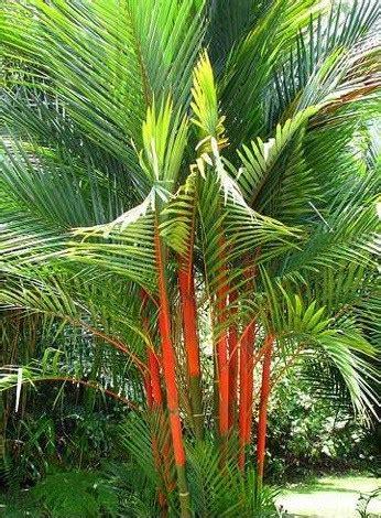 Bibit Tanaman Palm Merah jual tanaman palem merah lipstick palm bibit