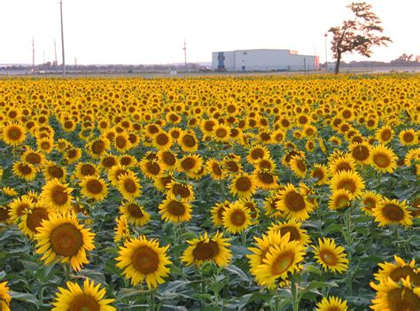 sunflowers in kansas salina ks sunflower field by kansas state university