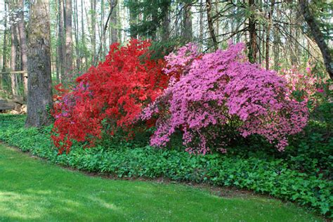 how to put lights on shrubs lula style azalea heaven
