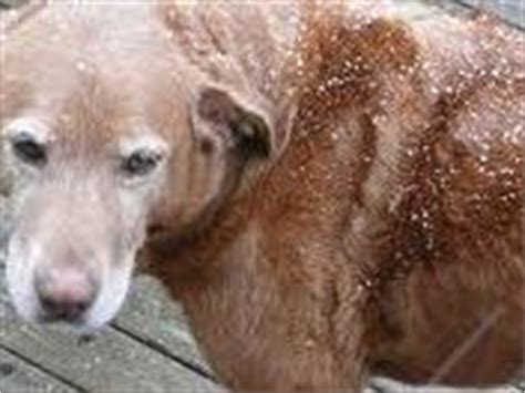 dandruff on dogs home remedies for dandruff dandruff treatment
