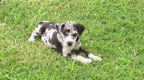 catahoula leopard puppy view topic whats your favorite breed chicken smoothie