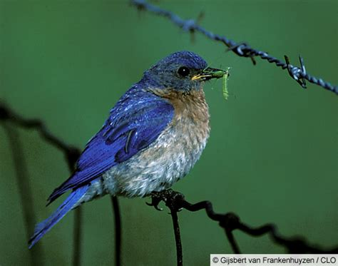 all about birds north american bluebird society annual