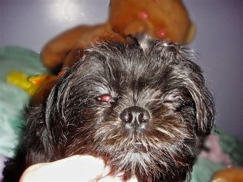 shih tzu cherry eye maverick with his cherry eye 054 ace of pups