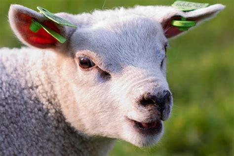 vegetarian saves    animals  year