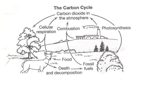Carbon Cycle Worksheet Answers by Water Carbon And Nitrogen Cycle Worksheet Free Worksheets