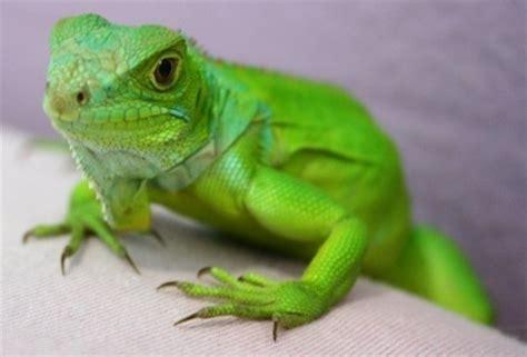 imágenes de iguanas verdes cuidado de iguanas