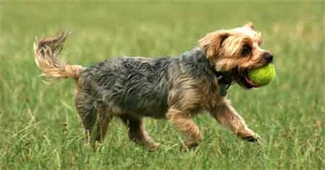 how many pups do yorkies usually terriers info and