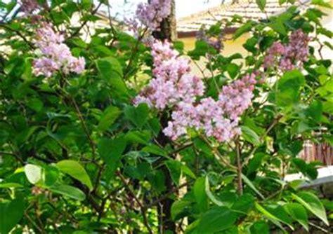 serenelle fiori syringa vulgaris il di nella seminara
