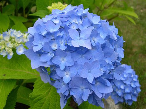 She Liked My Hydrangea Pictures!   Hydrangeas Blue