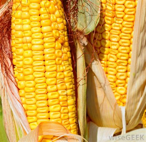 what is a corn what is dent corn with pictures