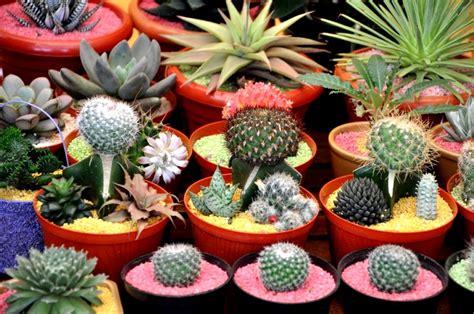 wallpaper bunga kaktus gambar tanaman hias kaktus pernik dunia