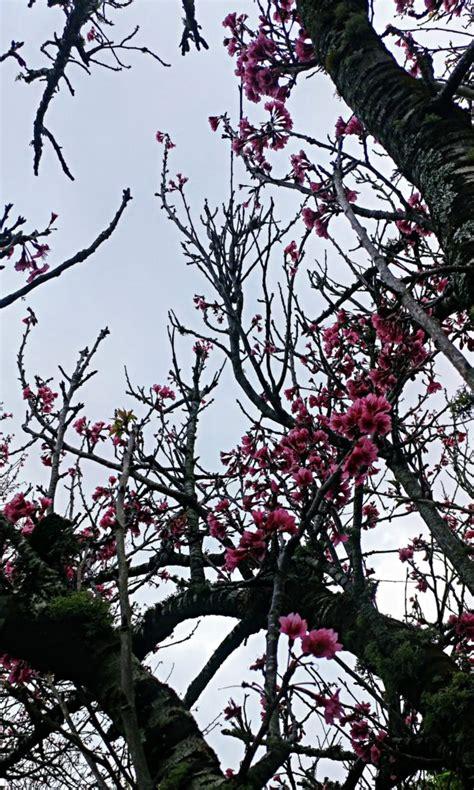cherry tree 2018 waimea cherry blossom heritage festival draws crowd big island now