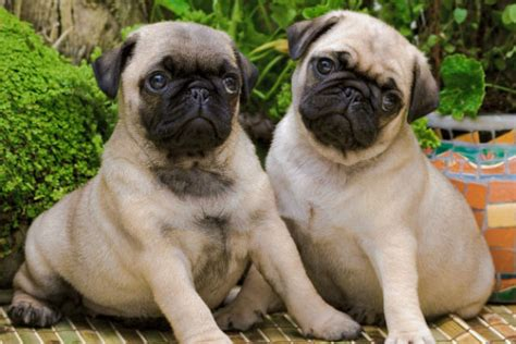 multum in parvo pug 9 breeds with cool nicknames american kennel club