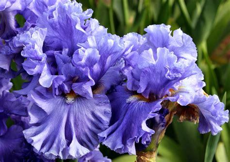 Light Blues World Of Irises Quot Talking Irises Quot The Blue Iris Garden