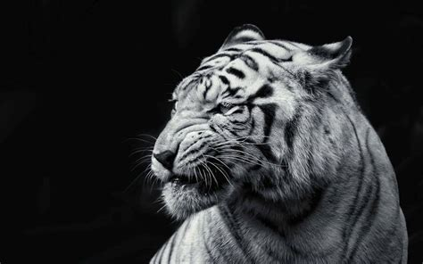 tiger wallpaper black and white hd 30 tiger full 4k hd full hd wallpaper for mobile pc