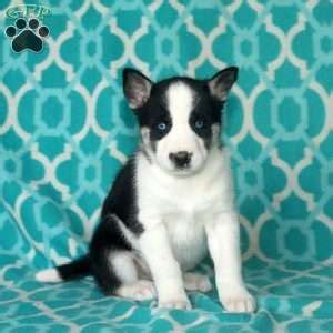 puppies for sale in chambersburg pa siberian husky puppies for sale in pa