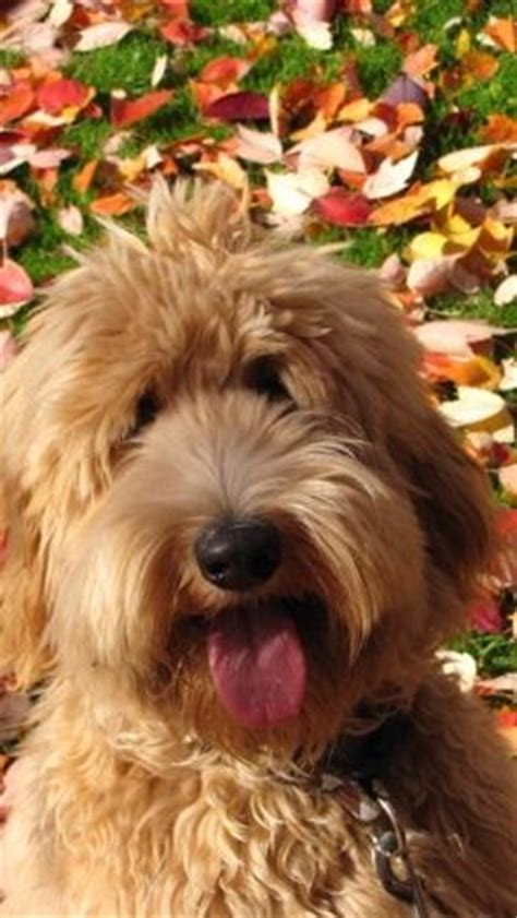 dog haircuts chicago 17 best images about labradoodle haircut on pinterest