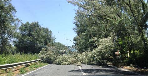 porto degli ulivi rizziconi grosso albero di ulivo crolla sulla strada tra rizziconi e