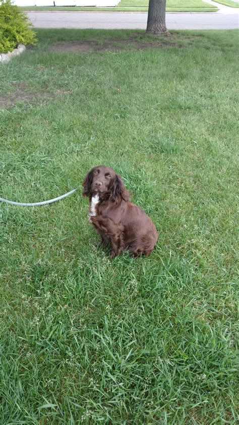 gun dogs for sale gun dogs for sale absolute gun dogs