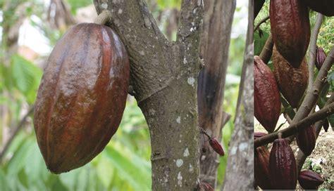 Bibit Kopi Coklat jual bibit kakao jual bibit tanaman dan jasa pembuatan taman
