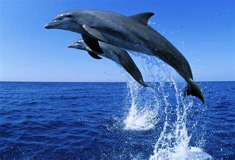 galeri gambar lumba lumba yang lucu pernik dunia