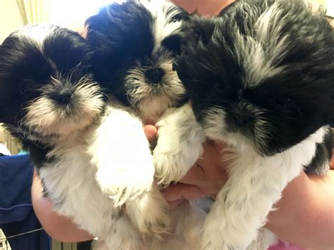 and white shih tzu puppies for sale beautiful black white shih tzu puppies for sale lancashire pets4homes