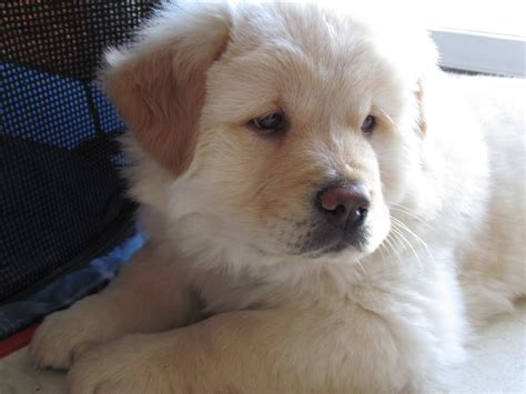 lab chow mix puppies for sale yellow lab chow mix puppies breeds picture