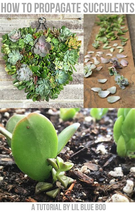how to grow succulents from leaf cuttings lil blue boo