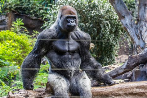 Hairless gorilla just not said x3cb x3egorilla x3c b x3e muscle