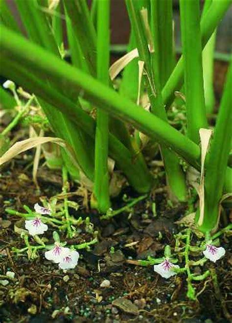 Minyak Atsiri Bunga Melati bunga kapulaga6 minyak atsiri indonesia
