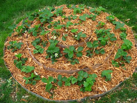 winterize garden how to overwinter strawberries the garden of eaden