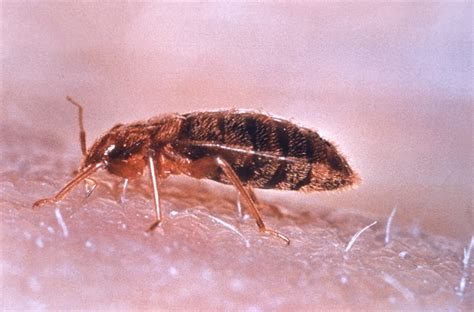 Bed Bug by Common Bed Bug 183 Msu Plant And Pest Diagnostic Services