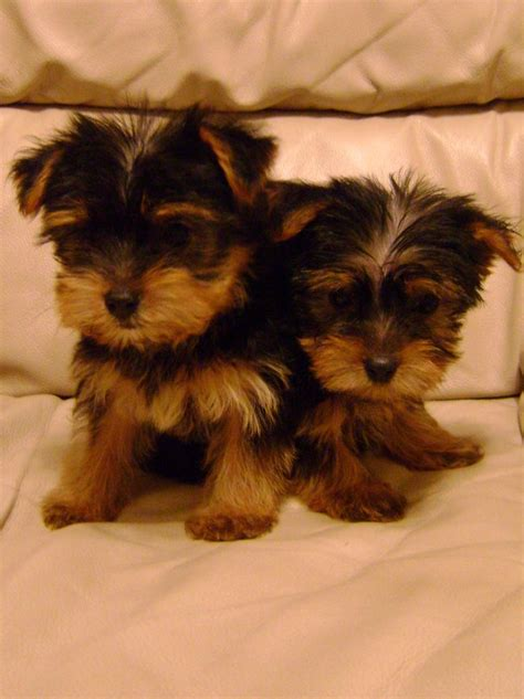yorkie rescue knoxville tn terrier puppy leeds dogs our friends photo