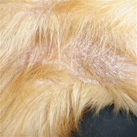 ichthyosis dogs dermatology allergy clinic for animals diseases miscellaneous