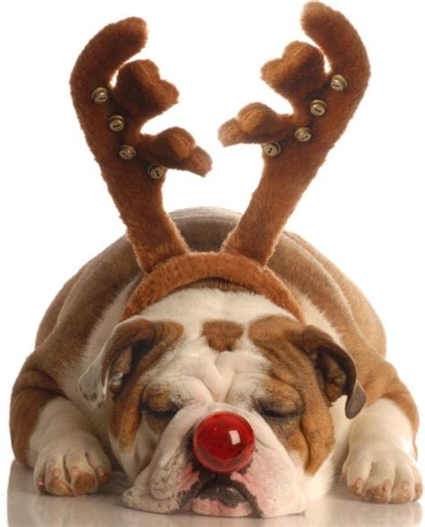 with reindeer antlers red nose puppy free stock photos in