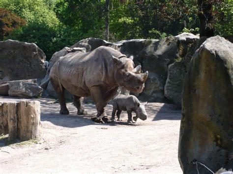 krefeld möbel nashorn und nashorn junges im zoo krefeld tier fotos eu