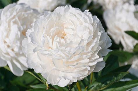 significato fiori bianchi il significato dei fiori bianchi floraqueen italia