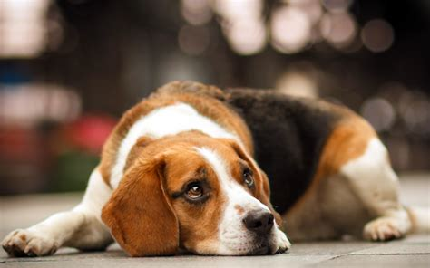 how are dogs for beagle dogs temperament exercise and grooming inspirationseek