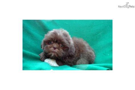 teddy puppies michigan mal shi malshi puppy for sale near arbor michigan 689d5172 6b31