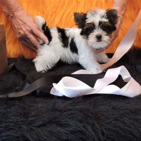 what is a parti yorkie parti yorkie pup for sale teacup yorkies sale
