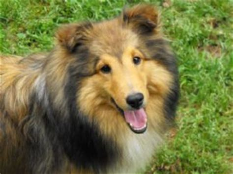 sheltie puppies for sale in florida shetland sheepdog puppies in florida