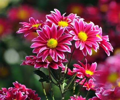 cara budidaya tanaman hias bunga krisan dengan mudah