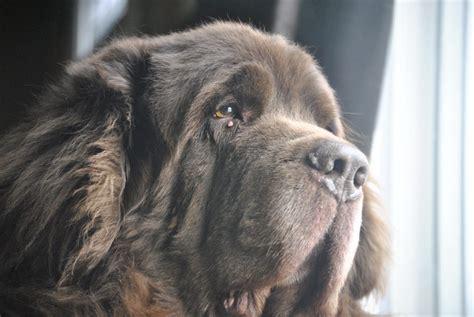 lymphangiectasia in dogs lymphangiectasia in dogs when i better i do better