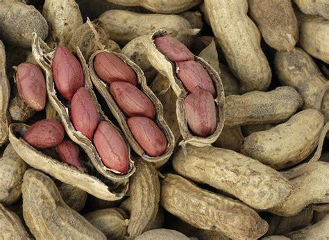carwiles virginia peanut   southern exposure seed